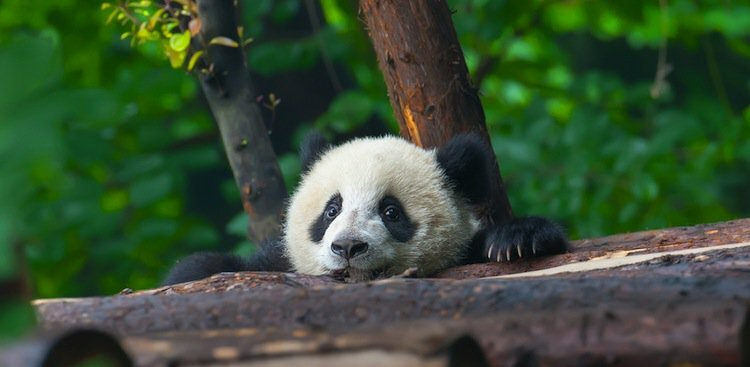 How to Get Paid to Play With Baby Pandas All Day Long